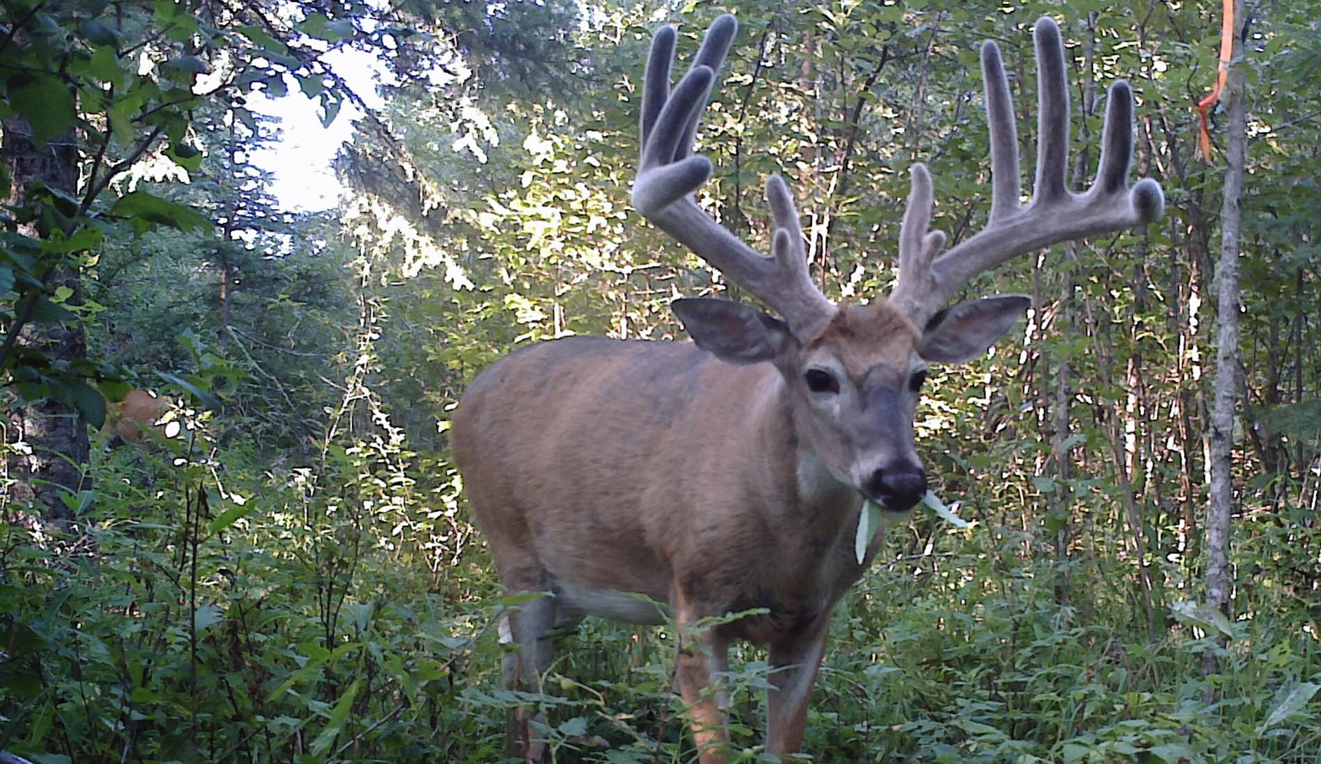 Boss Outfitting Whitetail Deer Hunts