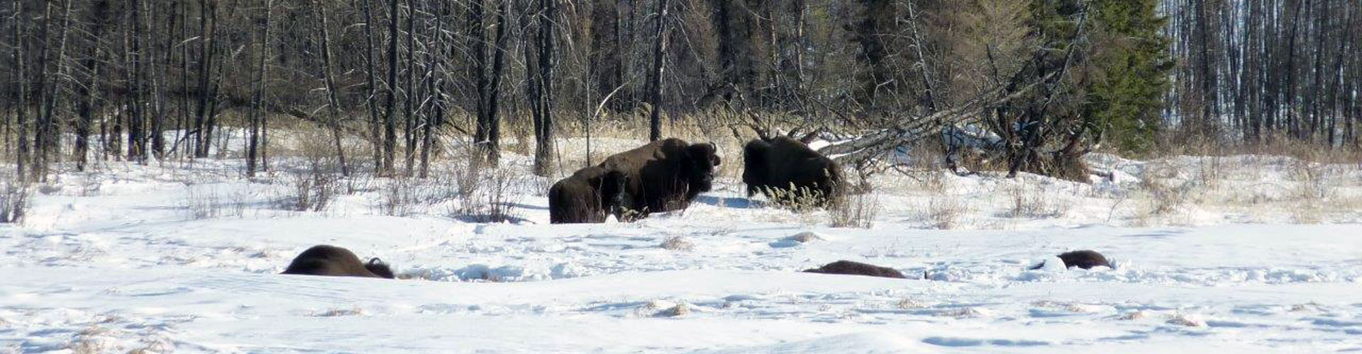 Canada Bison Hunts